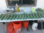 Trichocereus Bridgesii (Achuma Cactus) - Live Plant Cutting