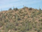Carnegiea Gigantea  (Giant Saguaro Cactus) Seeds
