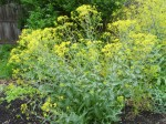 Isatis Tinctoria (Dyer's Woad) Seeds