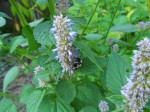 Agastache Foeniculum (Anise Hyssop) Seeds