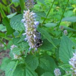 Agastache Foeniculum (Anise Hyssop) Seeds by World Seed Supply