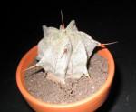 Astrophytum Ornatum (Showy Monk's Hood Cactus) Seeds