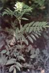 Glycyrrhiza Lepidota (American Licorice) Seeds