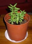 Heimia Salicifolia (Sinicuichi/ Sun Opener)  Seeds