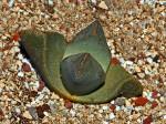 Pleiospilos Bolusii (Stone Mimicry) Seeds