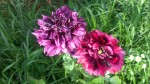 Papaver Peoniflorum (Black Peony Poppy) Seeds