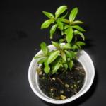 Heimia Salicifolia (Sinicuichi / Sun Opener) - Live Plant
