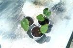 Piper Methysticum (Kava Kava)