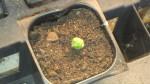 Lophophora Koehresii (Peyotillo) Seeds