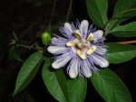 Passiflora Incarnata (Purple Passion Flower) - Live Plant- FREE SHIPPING