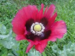 Papaver Somniferum (Pepperbox Poppy) Seeds