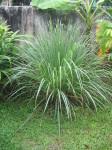 Cymbopogon Flexuosus (East Indian Lemon Grass) Seeds