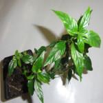Justicia Pectoralis var. Stenophylla - Live Plant