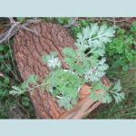 Artemisia Absinthium (Wormwood) Seeds