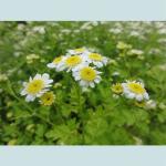 Tanacetum Parthenium (Feverfew) Seeds