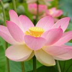 Nelumbo Nucifera, pink (Pink Lotus) Seeds