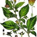 Atropa Belladonna (Deadly Nightshade) Seeds