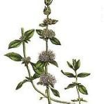 Mentha Pulegium (Pennyroyal) Seeds