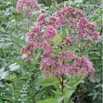 Eupatorium Maculatum (Joe Pye Weed) Seeds