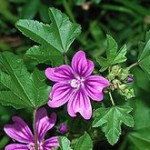 Malva Sylvestris (High Mallow) Seeds
