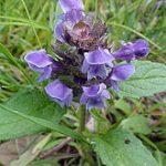Prunella Vulgaris (Selfheal) Seeds
