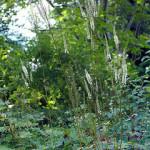 Cimicifuga Racemosa (Black Cohosh) Seeds