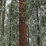 Sequoiadendron Giganteum (Giant Sequoia) Seeds