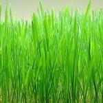 Triticum Aestivum (Wheat Grass) Seeds