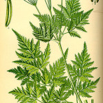 Myrrhis Odorata (Sweet Cicely) Seeds