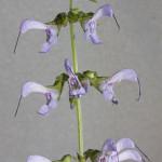 Salvia Miltiorrhiza (Red Sage / Dan Shen) Seeds