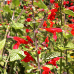 Salvia Coccinea (Scarlet Sage / Texas Sage) Seeds