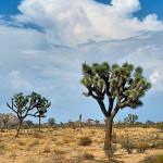 Yucca Brevifolia (Joshua Tree) Seeds