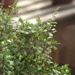 Ocimum Sanctum (Holy Basil) Seeds