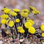 Tussilago Farfara (Coltsfoot) Seeds