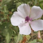 Althea Officinalis (Marshmallow) Seeds