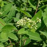 Apocynum Cannabinum (Dogbane) Seeds