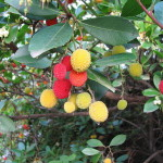 Arbutus Unedo (Strawberry Tree) Seeds
