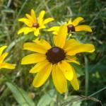 Rudbeckia Hirta (Balck-eyed Susan) Seeds