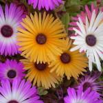 Dorotheanthus Bellidiformis (Livingstone Daisy) Seeds