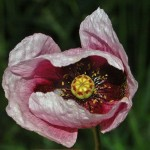 Papaver Setigerum (Poppy of Troy) Seeds