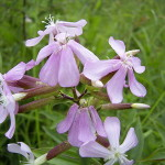 Saponaria Officinalis (Soapwort) Seeds