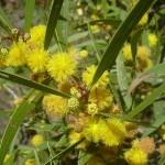 Acacia Confusa  (Formosa Koa) Seeds