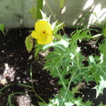 Agremone Mexicana  (Mexican Prickly Poppy) Seeds