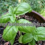 Ocimum Basilicum (Lime Basil) Seeds