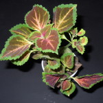 Coleus Blumei (Painted Nettle) Seeds