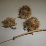 Datura Wrightii (Sacred Datura / Western Jimsonweed) Seeds