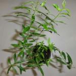 Heimia Myrtifolia (Sinicuichi / Sun Opener) - Live Plant