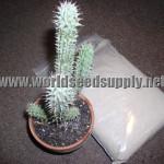 Hoodia Gordonii  (Diet Succulent) Seeds