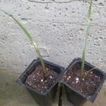 Agave Tequilana (Weber's Blue Agave) - Live Plant Seedling