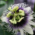 Passiflora Edulis (Passion Fruit) - Live Plant- FREE SHIPPING